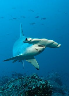 Scalloped Hammerhead  Sphyrna lewini (Sphyrnidae),     Endangered species on the IUCN Red List. References: [1] - [2] Photo credit: ©Norbert Probst Locality: Darwin Island, Galapagos Archipelago, Ecuador, Pacific Ocean
