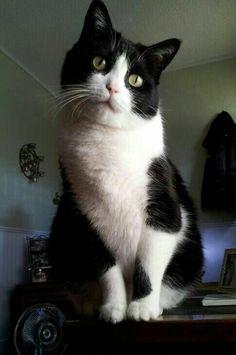 Frankie ~ black & white cat