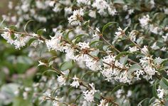 Buy osmanthus Osmanthus × burkwoodii: Delivery by Crocus.co.uk