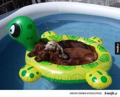 Psy, które świetnie radzą sobie z upałem - pies, pieseł, upał, lód, woda