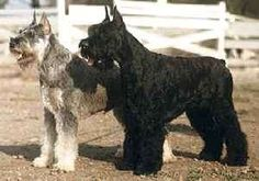 Giant Schnauzer - Look!  Its a giant Tinkerbell and a Giant Hook!!!  Can you imagine....  Omg NO!