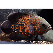 Find goldfish for sale at your local PetSmart store! We have a large variety of bettas, goldfish and other pet fish near you. Cichlid Aquarium, Cichlid Fish, Fish Aquariums, Discus, Betta, Tiger Oscar Fish, Goldfish For Sale, Tropical Fish Aquarium, Aquarium Design