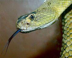 Mojave Rattlesnake C. All About Animals, Burning Man, Diamond Pattern, Snakes, Wildlife Photography, Creepy, Draw, Beautiful, Tekenen