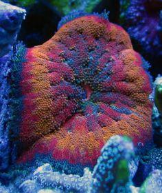 Show me your mini-carpet anemones - Page 2 - Reef Central Online Community