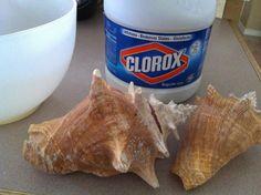 Hayley Daily: How-To: De-Stinkify and Polish Sea Shells