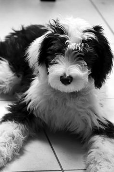 Mini Sheepadoodles Feathers And Fleece Mini Sheepadoodles Feathers And Fleece Cute Dogs And Puppies, I Love Dogs, Sheepadoodle Puppy, Baby Animals, Cute Animals, Doodle Dog, Cute Dog Pictures, Old English Sheepdog, Little Dogs