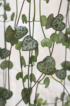 Ceropegia linearis subsp. Woodii - Pumpkin Beth Variegated Plants, Planting Succulents, Cacti, Indoor Plants, House Plants, Perennials, Heart Shapes, Vines, Roots