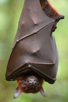About 1/4 of all mammal species are bats. The world's lightest mammal is the bumblebee bat. Bats can consume 3,000 insects in one night. The world's largest bat, the Rodrigues fruit bat, has a wingspan of up to 6 ft.