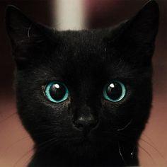 Ole blue eyes cat