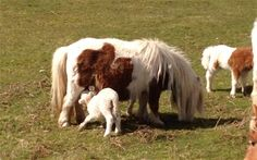 That is a lamb nursing from a Shetland pony. You're welcome.