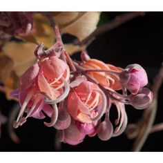 Cassia Grandis Seeds (Coral Shower, Pink Shower Tree Seeds) Unusual Plants, Exotic Plants, Hawaiian Plants, Pink Showers, Tropical, Palmiers, Tree Seeds, Chocolate Factory, Yellow Flowers