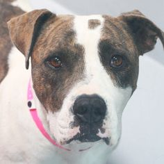 SIERRA-ID#A729363  Shelter staff named me SIERRA.  I am a spayed female, white and brown brindle Pit Bull Terrier.  The shelter staff think I am about 2 years and 1 month old.  I have been at the shelter since Jul 21, 2013.