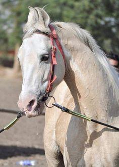 Photo credit and source by-Acharyashri Ghanshyamji maharaj owned by-Rajendrasinh Jadeja Kathiyawadi Horse, Marwari Horses, Rare Horses, Horse Sculpture, Native Indian, Horse Breeds, Thoroughbred, Pegasus, Donkey