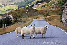 Three sheep crossing the road in Norway