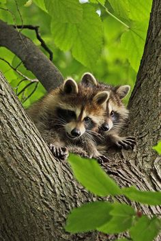 Raccoon Watch | Flickr - Photo Sharing!several nice photo's on the link
