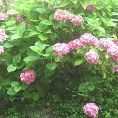 A pesar de que hoy no luzca el #Sol mis #Hortensias siguen luciendo muy hermosas.    #JoselePadilla #Flores #Flora #FlorYFauna #Naturaleza #Campo #Libertad #Pasión #TiempoLibre #Gijón #Xixón #Asturias #Asturies #Asturiano #AsturiasParaísoNatural #AsturiasPresta #AsturiasMola