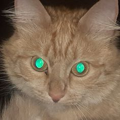 Cute Animal Photos, Animal Pictures, Miaou Miaou, Dangerous Cat, Elf Drawings, Warrior Cat Oc, Shiny Eyes, Gothic Anime, Pretty Cats