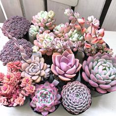 Here you can see some of the worlds most stunning purple succulents around. Explore all the different types of purple succulents out there! Pink Succulent, Purple Succulents, Cacti And Succulents, Planting Succulents, Planting Flowers, Growing Succulents, Succulent Gardening, Succulent Terrarium, Cactus Plante