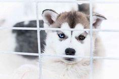 #Repost @nelly_tran_photography  #doglovers #Husky #dogsledge #wintertime #suomi #finlandia #lappland #Finland #snow #dogs #blueeye #browneye #fujilover #fujinon #fujifilmfinland #fujifilmx_ch #fujifilmxt2 #fuji #karigasniemi via Fujifilm on Instagram - #photographer #photography #photo #instapic #instagram #photofreak #photolover #nikon #canon #leica #hasselblad #polaroid #shutterbug #camera #dslr #visualarts #inspiration #artistic #creative #creativity