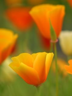 ~~Calpop by Richard Loader ~ california poppy~~  have these around a tree out front and they come back each year as more and more.  Love them.  Beautiful.