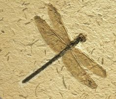 Araripegomphus Dragonfly Fossil from Brazil