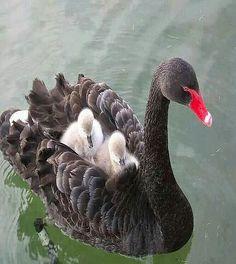 Emmy DE * #motherhood Le Cygne Noir et ses petits.