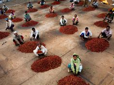 Indian coffee workers sitting by mounds of red coffee cherries.