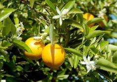 """Il pompelmo è un frutto misterioso.  James MacFayden, nel libro """"La flora della Giamaica"""", edito nel 1937, dà una descrizione scientifica e definitiva della pianta. Solo nel 1948 però si sono definite le origini botaniche del pompelmo: esso risulta infatti essere un ibrido tra l'arancio e il pomelo, accaduto forse accidentalmente, non si sa esattamente dove né quando"""