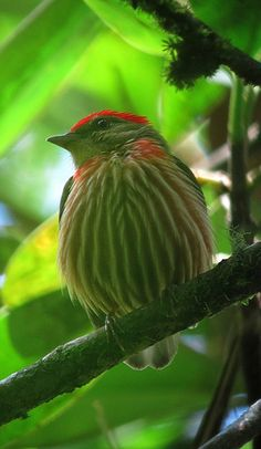Western Striped Manakin (male)