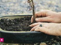 DIY Bonsai Tree Beginner's Tutorial...