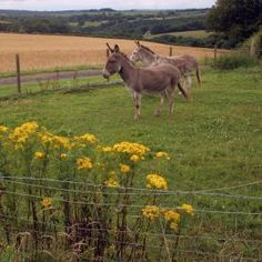 Ragwort is deadly for donkeys and horses. via The Donkey Sanctuary.