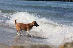 Unsere Resort Hündin Nele beim toben am Strand