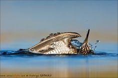 The New Shorebirds Handbook szereplője