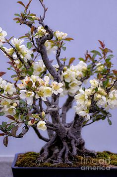 Japanese Flowering Bonsai ~ flowering quince by Julie Palencia