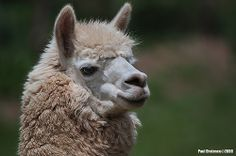 Cute llama from Peru | Flickr - Photo Sharing!