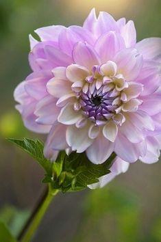 Bonita dalia en color violeta. 110