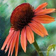 #Echinacea #floraldecor by Beverly Guilliams