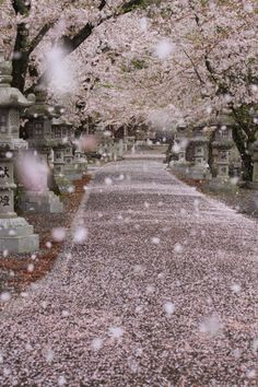 Cherry blossom storm in Gifu, Japan  Ive always wanted to see cherry blossoms.