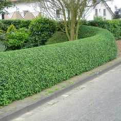 common privet hedge, I SO want an English garden. Too bad I live in Texas :/