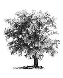 Graphite Pencil Drawings by Diane Wright Tutorial on Drawing Trees