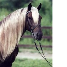 Stunning features of the Rocky Mountain Horses are these their beautiful color and awesome flaxen manes and tails.