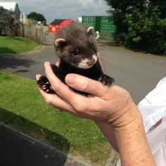 Orphaned baby polecats rescued