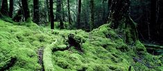 Mosses in the beech forest. New Zealand