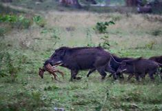 For states with a wild hog problem, this picture is indicative of just how bad that problem is. While feral pigs are more known for their destructive sprees when it comes to agriculture or the environment, it should be noted that hogs will also compete… More »