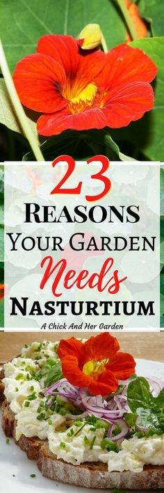 Nasturtium is amazing for the garden, amazing for our chickens and amazing for us! Check out all the benefits in this post! #companionplanting #garden #gardening #edibleplants #flowers #annuals #growfood #growyourown #backyardchickens #chickenfood #feedyourchickens