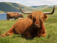 scotish cows - Google Search