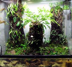 1 meter terrarium or vivarium of daintree rainforest