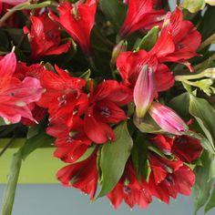 dark red Peruvian lilies