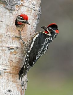 Red-naped Sapsucker - mixed forests in Rocky Mountains & Great Basin areas of North America