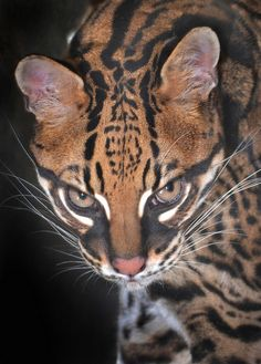 Ocelot... So serious!